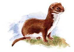 a020_weasel