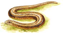 a049_slow_worm