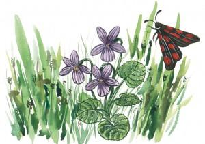 i036_6spotburnet_moth_dog_violet-300x211